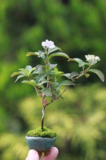 山アジサイの超ミニ盆栽 | 超ミニ盆栽のブログ