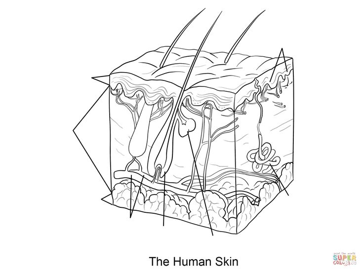 Human skin coloring page Dermis, Subcutaneous tissue