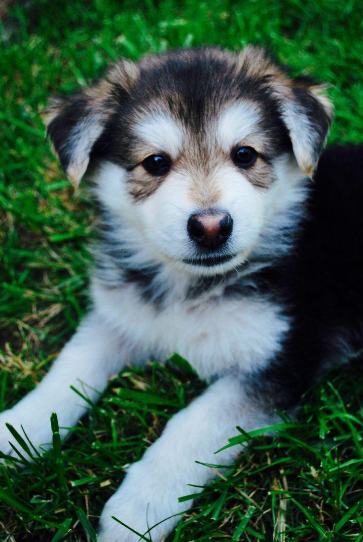 Cute Husky/ German Shepherd Mix