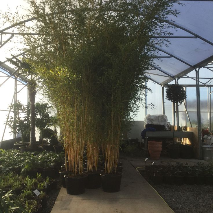We like big bamboo, so do our customers!