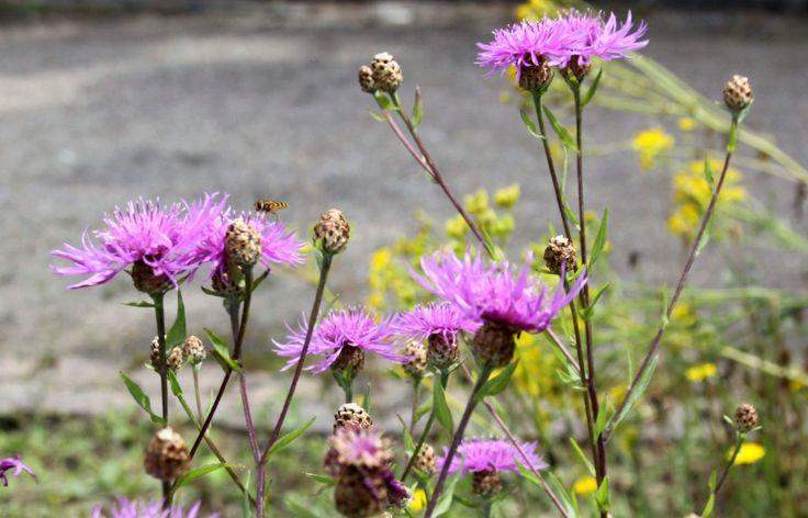 Přečtěte si o chrpě - včelami oblíbené rostlině, která kvete až do podzimu téměř na všech našich lukách.