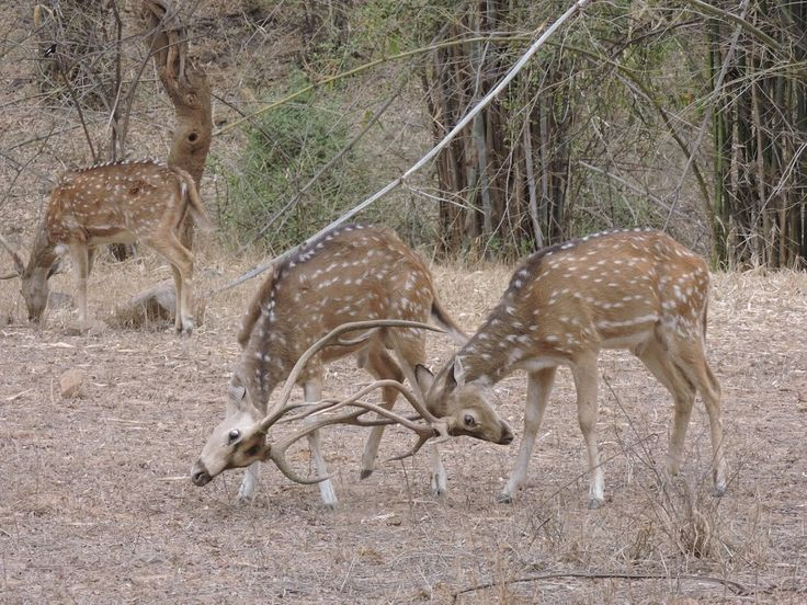 Deer fighting in the Sariska National Park, India