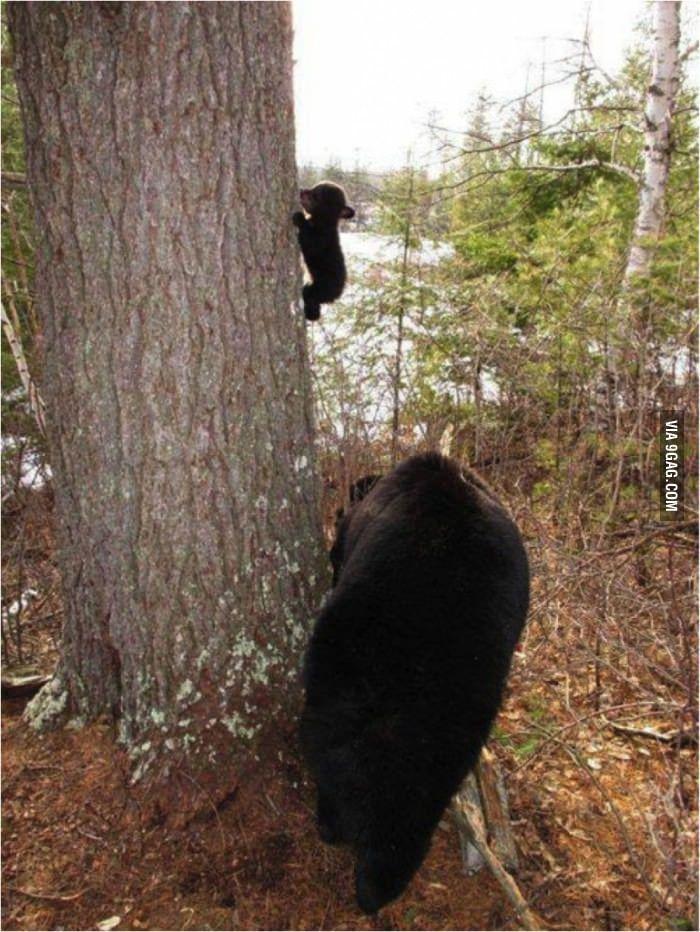 Baby bear learning to climb
