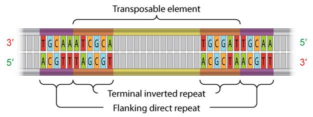 A schematic diagram shows the nucleotide sequence of terminal inverted repeats and flanking direct repeats on a transposable element. The transposable element is depicted as a horizontal, double-stranded segment of DNA. Elongated, vertical, rectangles represent individual nucleotides on each DNA strand. The rectangles are grey, except for 11 nucleotide pairs near each of the DNA segment's opposite ends. These rectangles are colored and labeled with the letters A, T, G, or C. The color of…