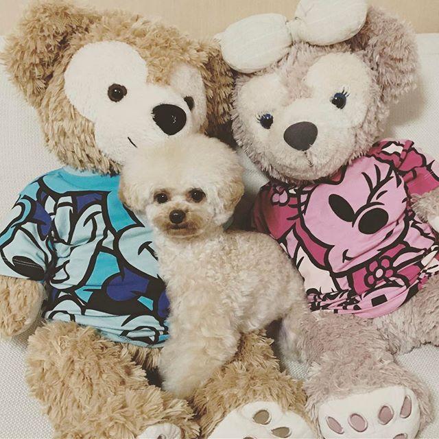 カットしたよ✨ #愛犬#プー太#プードル#タイニープードル#ティーカッププードル#アプリコット#ふわもこ部#ふわもこ部ワンコ#いぬら部#親バカ部#犬バカ部#犬#ペット#dog#poodle#pet#instadog#アフロ#アフロ犬