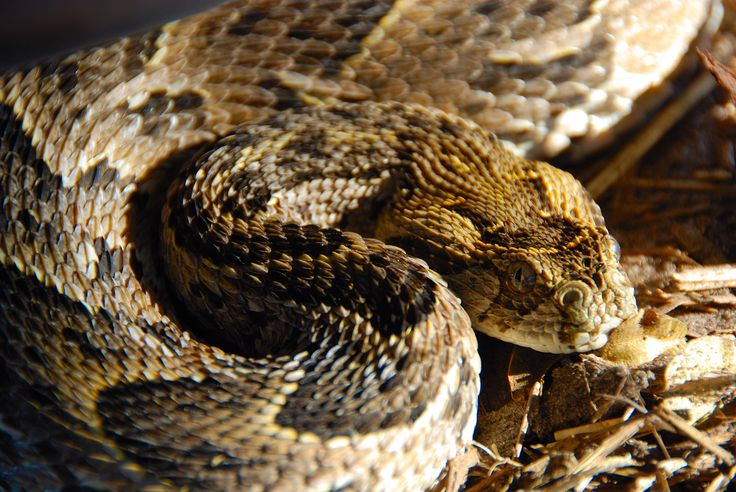 Puff adder in camp
