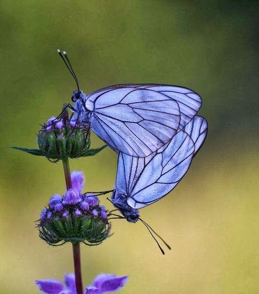 Purple butterflies and flowers