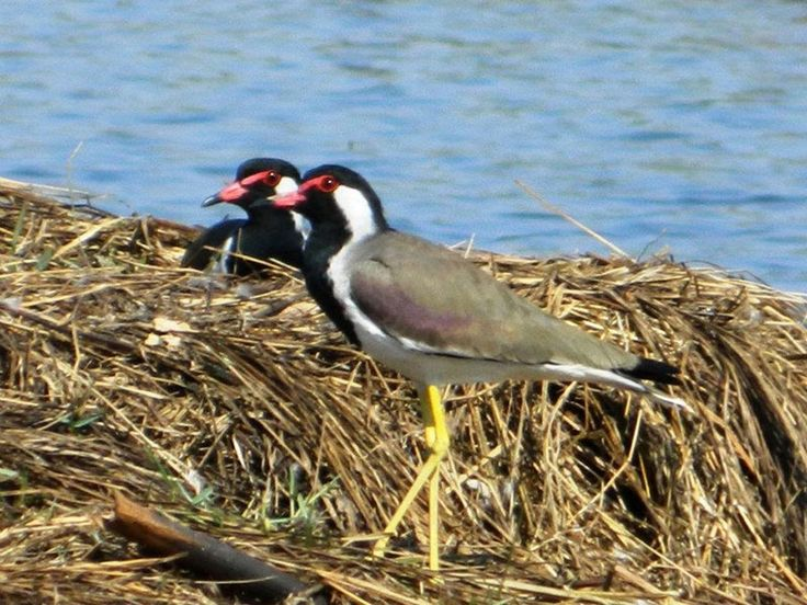 Sultanpur National Park and Bird Sanctuary - in Haryana, India