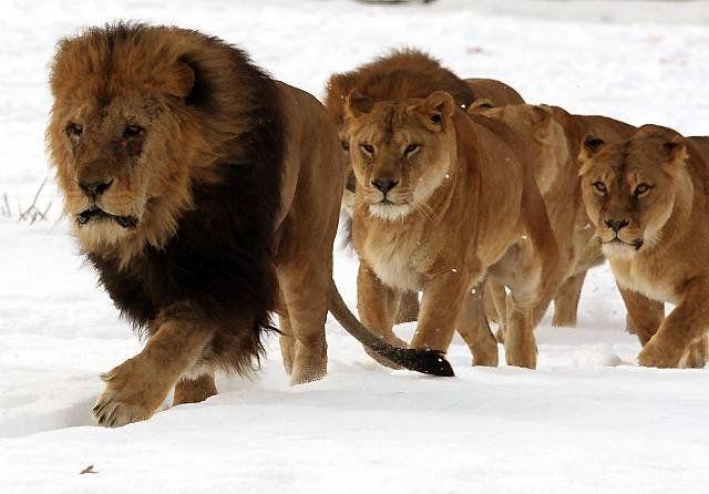 雪の上を進むライオンの群れ