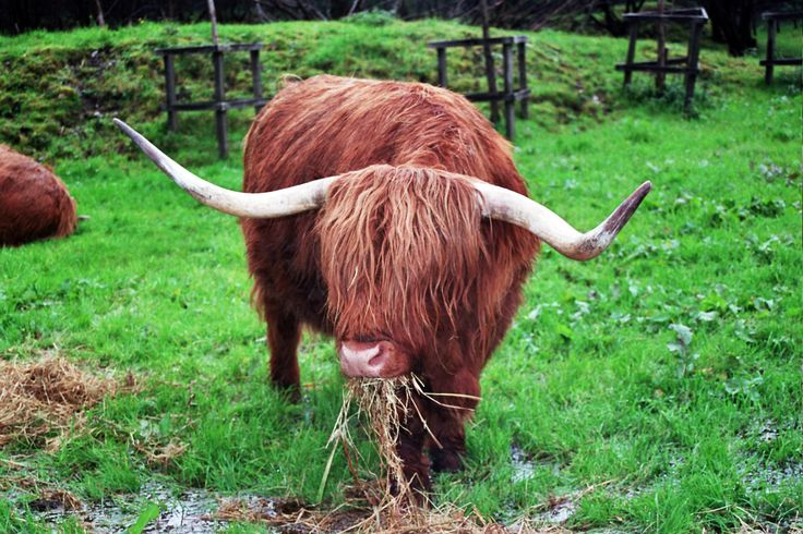 Hairy Cattle 79