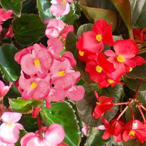 Plante annuelle idéale pour fleurir son balcon, sa terrasse.S'utilise en balconnières, massifs, potées fleuriesIdéale en mélange avec des euphorbes mille fleurs