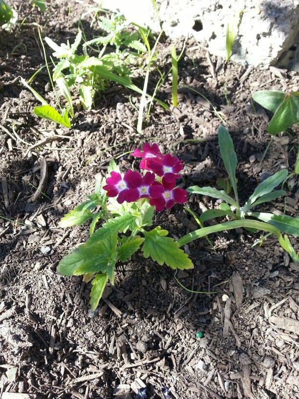Verbena in our front garden