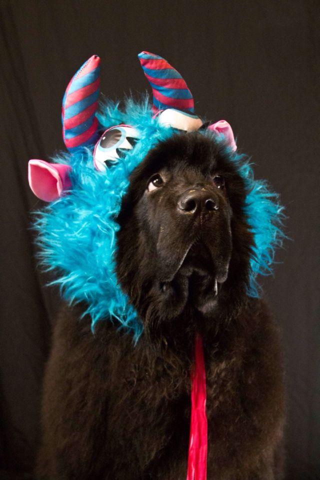 Wonderful Heavy Chubby Adorable Dog - 7a667ca86756d59a797c29100762305c--animal-costumes-pet-costumes  HD_41211  .jpg