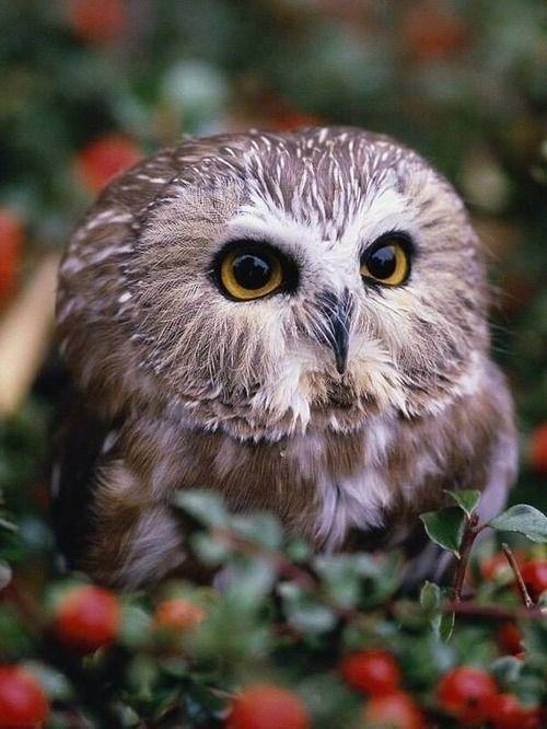 Owl 57 Saw Whet Owl wallpaper...