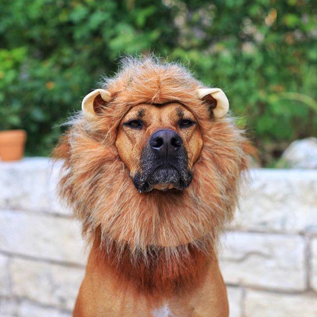THE GREAT LION DOG: the Rhodesian Ridgeback !!!