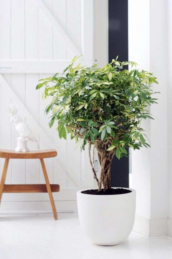 Umbrella trees have pretty, whorled leaf clusters and multiple trunks, and although they're an invasive species outdoors, they make for a pretty, easy-care house plant.