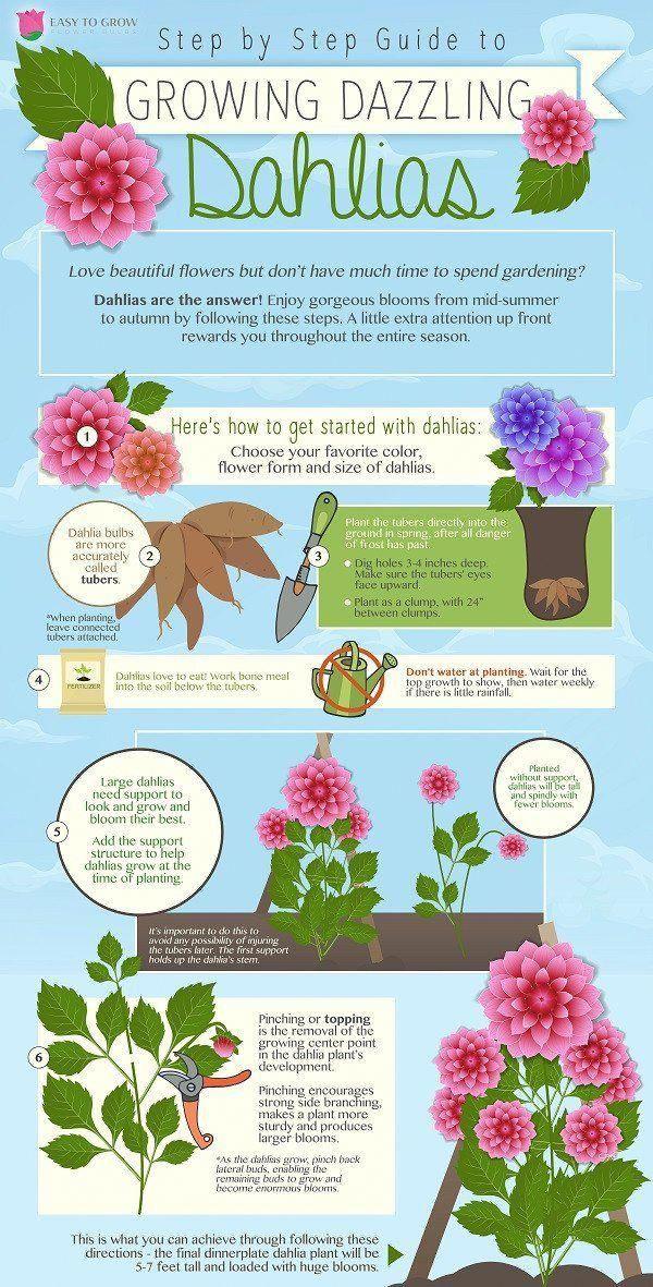 Dahlia Planting Infographic With Step By By Step Information Gardenplanningideas Planting Dahlias Dahlias Garden Sloped Garden