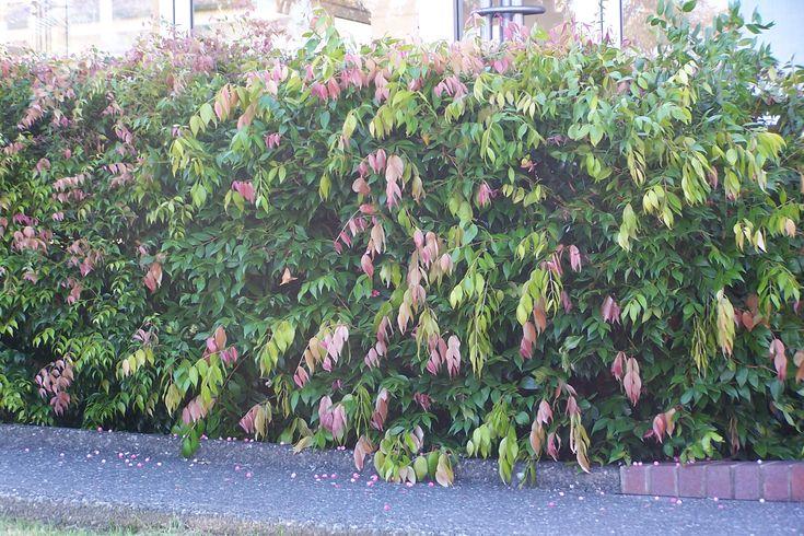 Syzygium 'Cascade' hedge, distinctive pink leaves....