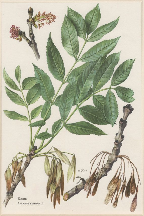 1960 Botanical Print Fraxinus excelsior European by Craftissimo