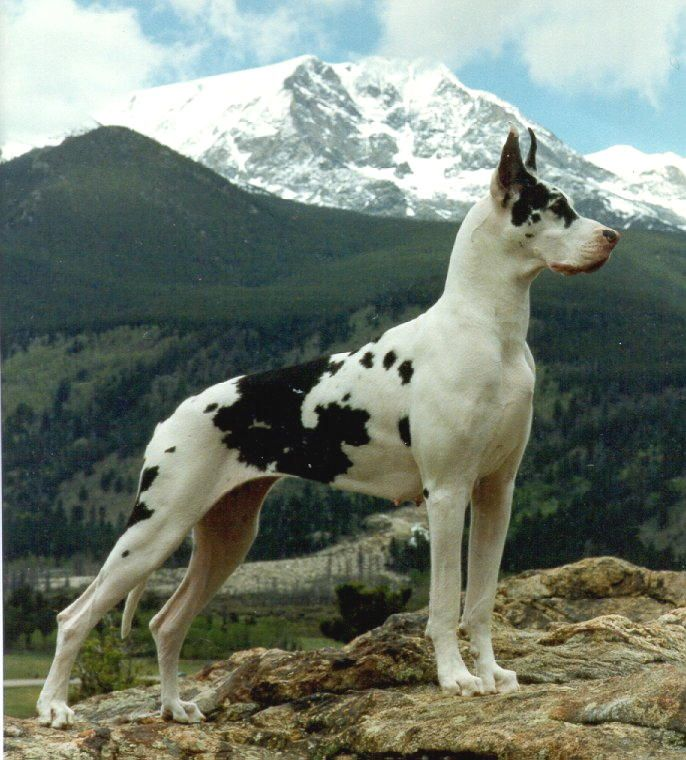 Harlequin Great Dane // CH BMW Windrose Winning Colors TD