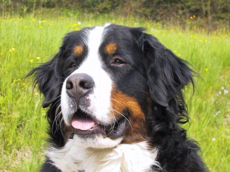 O Boiadeiro Bernês (Bernese Mountain Dog) é cativante pelo seu tamanho, pelagem e temperamento calmo e pacato.