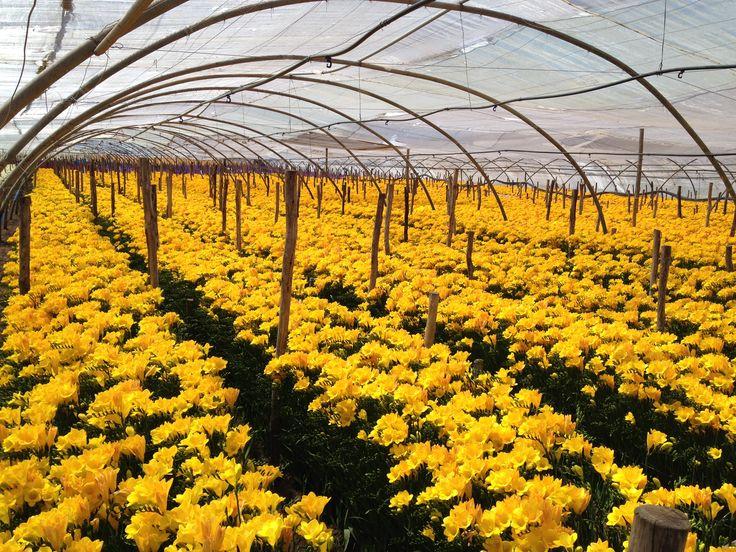 Freesia 'Morning Sun', flowering in Morocco.
