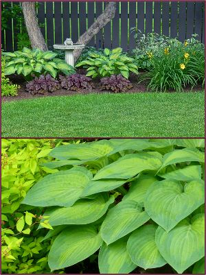 "Hosta ""Guacamole"", recommended by Sue Gaviller"