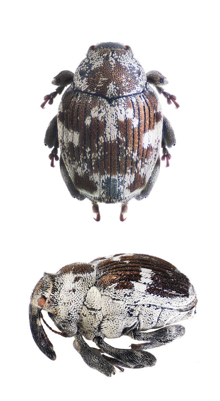 Ceutorhynchus litura