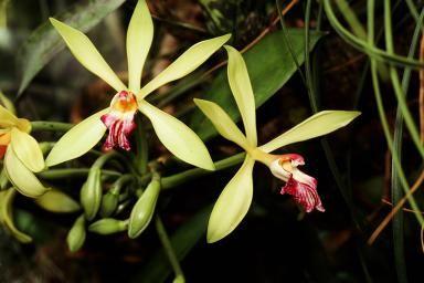 Vanilla orchids (Vanilla planifolia) close-up - Vanilla Orchid Care, The Vanilla Bean Plant