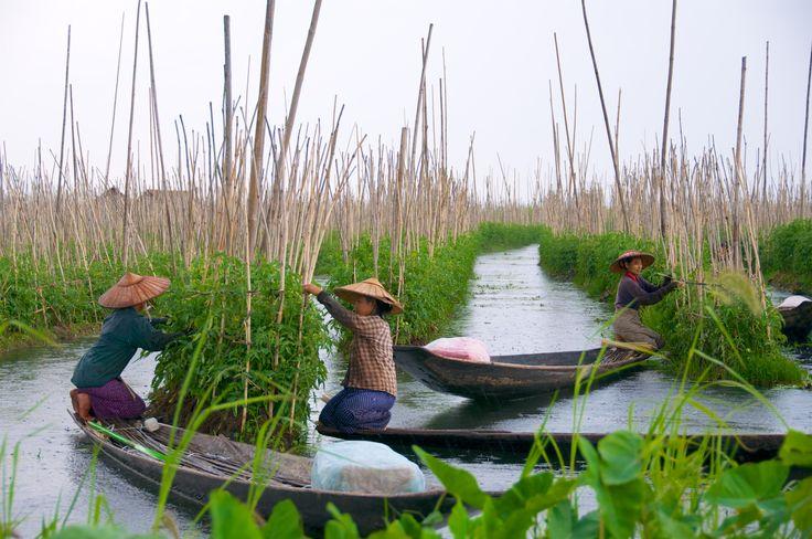 The floating gardens of Inle Lake, Myanmar