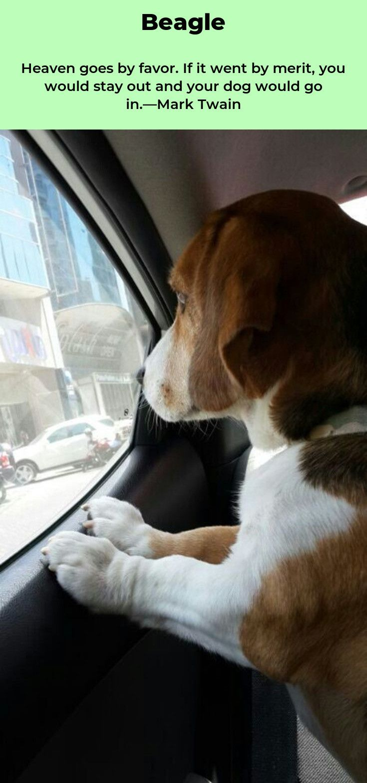 Beagle Beagleslover Pocket Beagles Roztomili Pejsci Bigl Pejskove
