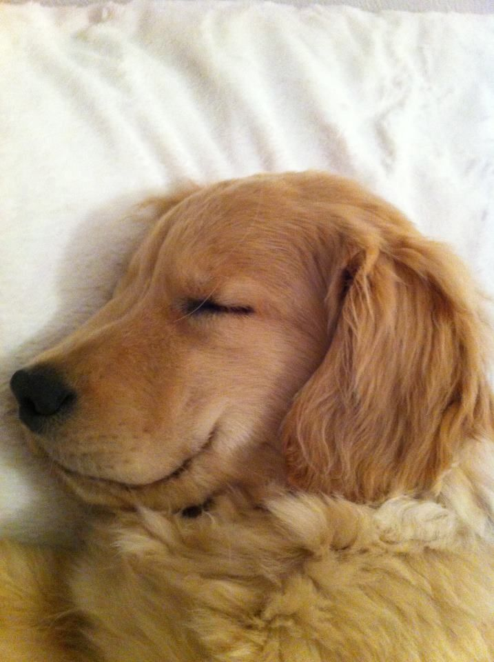 Obviously having a Sweet Dream. Smiling Golden.