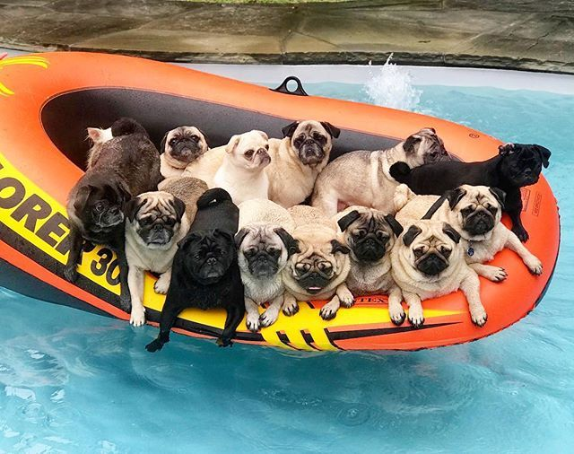 14 Pugs Pugwawas In A Boat New Guinnessworldrecords You Can See