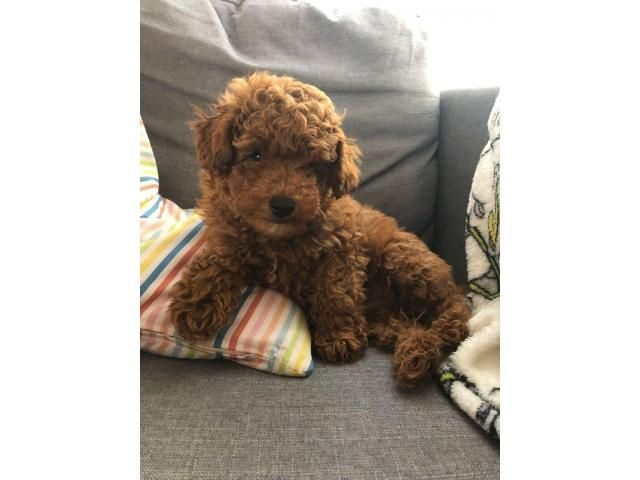 Toy Poodle Puppies Ready Now Toy Poodle Puppies