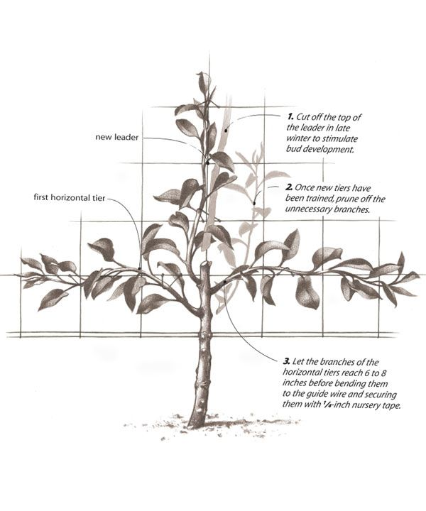 51 Best Fruit Trees Images On Pinterest Gardening Vegetable