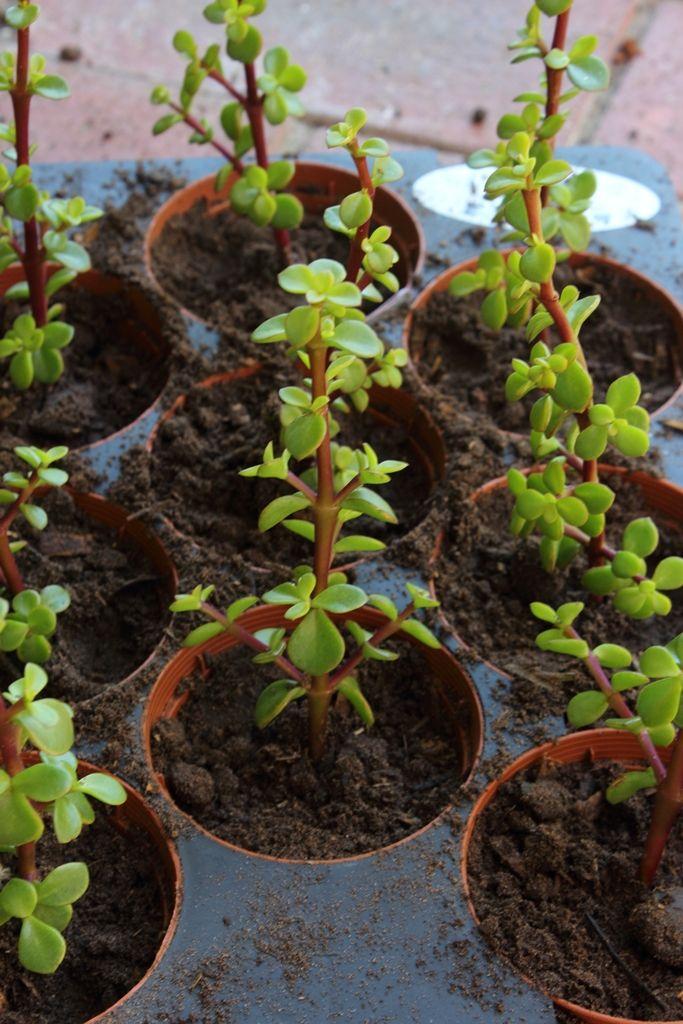 Mini Spekboom plants in their pots