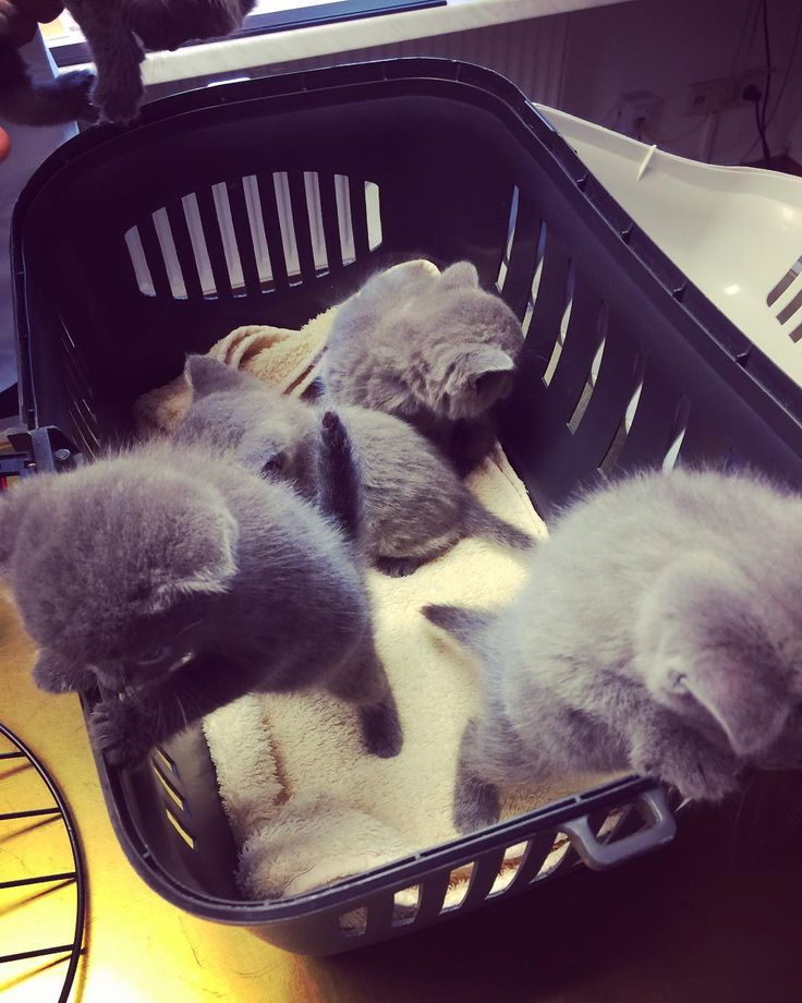 So wurmkur abgeschlossen negste Woche gibt's die erste Spritze  #britishkitten #britishshorthair #lovecats #kater #tierarzt #allegesundundmunter