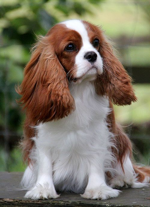 Cavalier King Charles Spaniel -very special dogs, love mine so much!