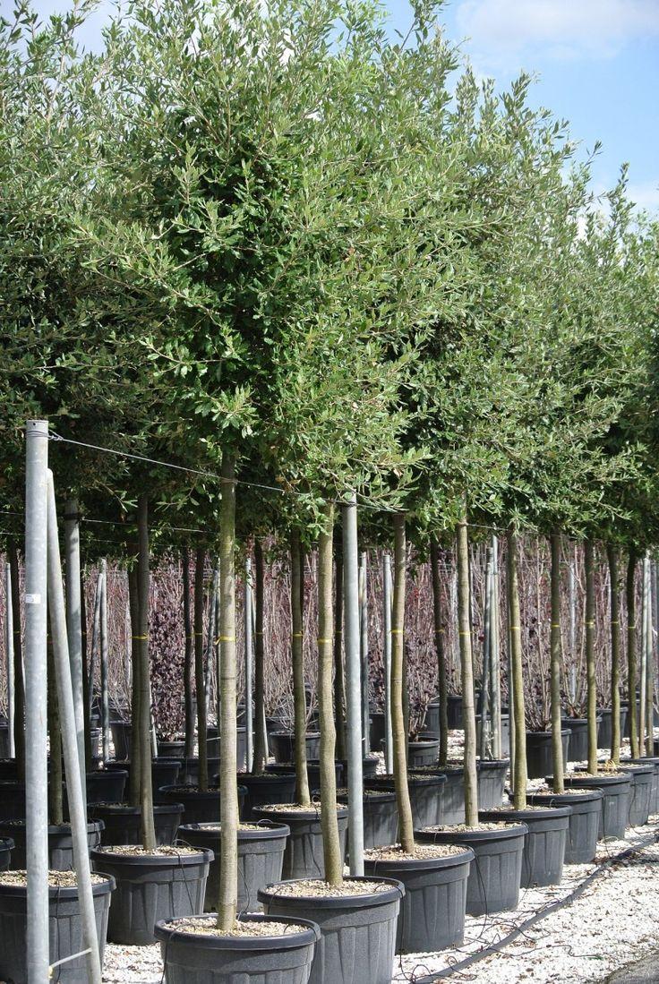 Steeneik Quercus ilex   Groenblijvende boom   Prijs vanaf € 120,00