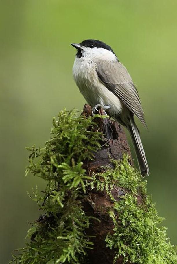Marsh Tit, Lithuania,