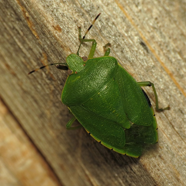 A big green stink bug (Chinavia hilaris, I believe) that showed up at the moth light the other night. Seems to have lost a bit of its front left leg...