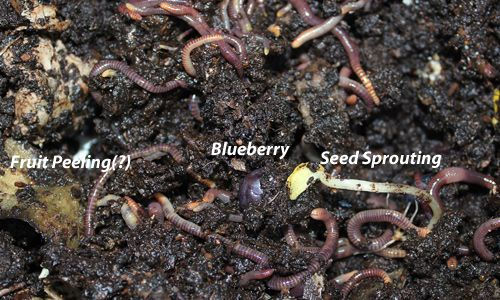 Feeding Compost Worms: What, When, and How