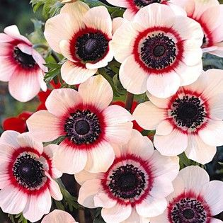 """Anemone de Caen (bicolor) - white with red halo, 10"""" high, full to part sun, mid spring bloom. Soak corms overnight before planting for best results."""