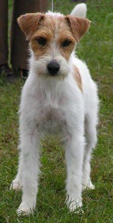 Fox Hunting Influences: The Jack Russell!