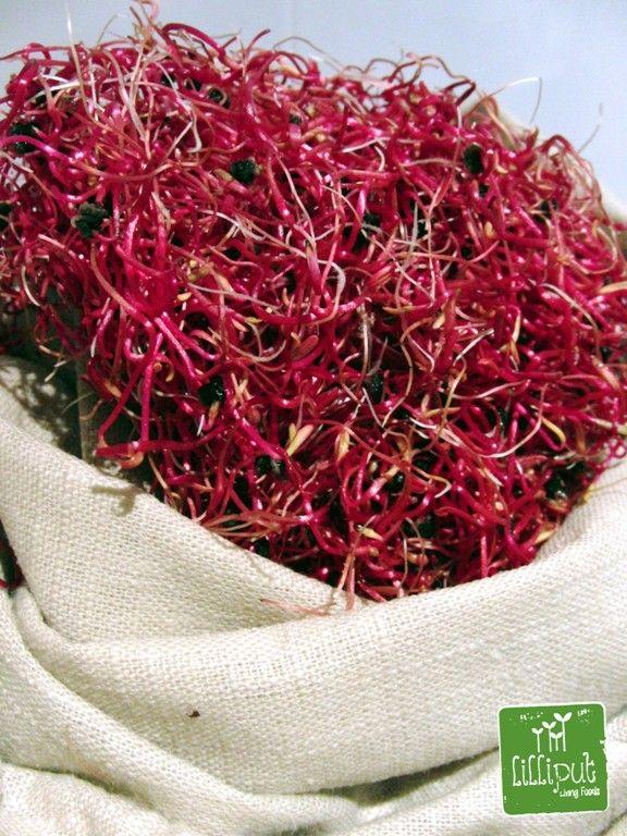 Germinados de remolacha roja en bolsa de germinación