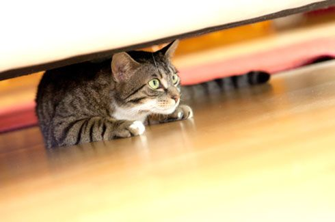 Helping your new cat or kitten settle in   international cat care