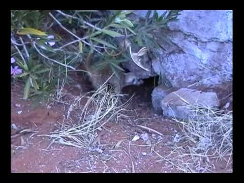 Young jackals being attacked in their burrow by a meerkat.