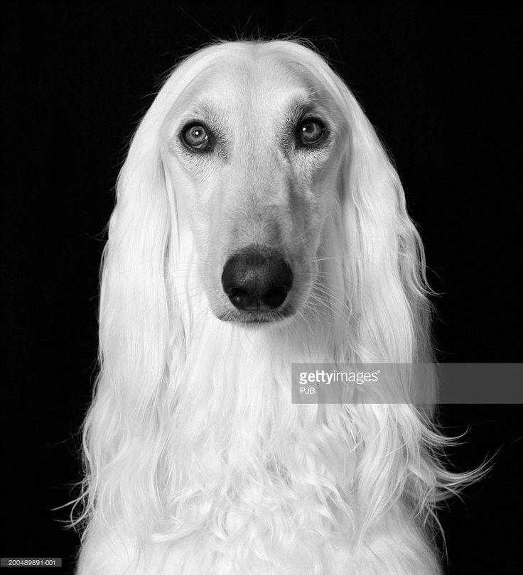 Afghan Hound, close-up, portrait