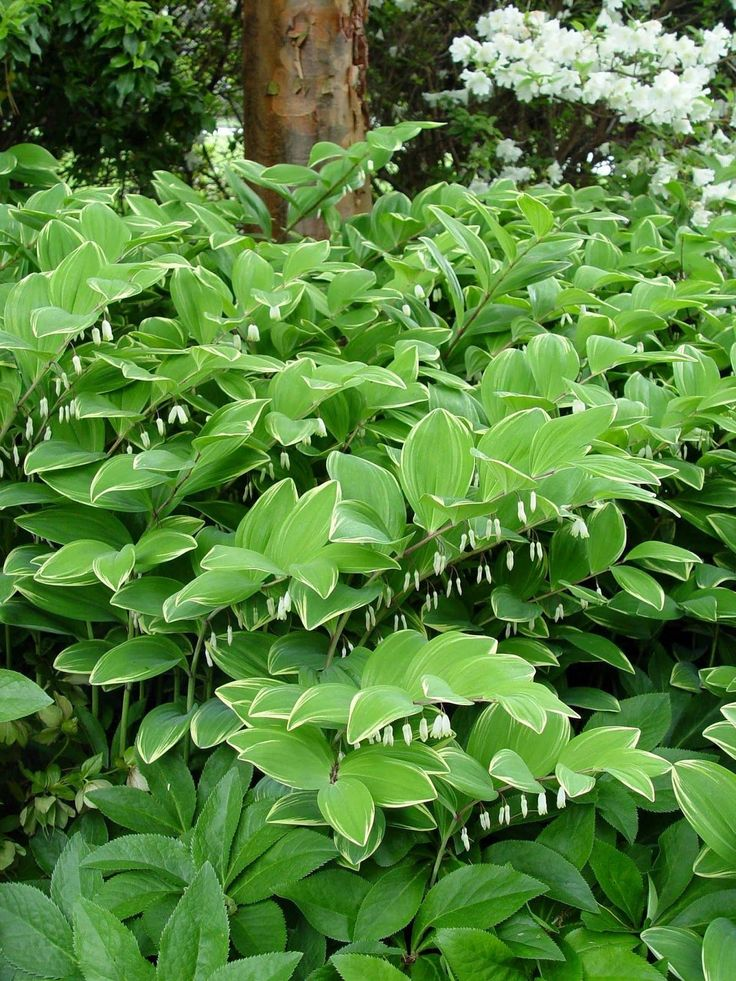 'Angel Wings' Variegated Solomon's Seal     This morning, I was  talking to someone in my town who had shade in their yard and deer  prob...
