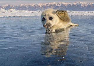 Planet Stars: Ένα μωρό φώκια στη μέση του πάγου θα σας κλέψει τη...